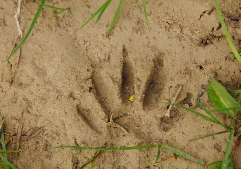 Raccoon Track