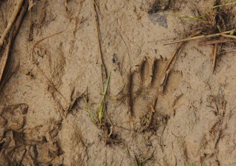 75) Identify animal tracks
