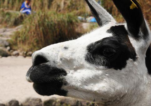 109) Feed a Lama