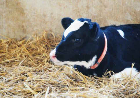 152) Hand milk a cow