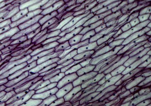 Epidermis of an onion