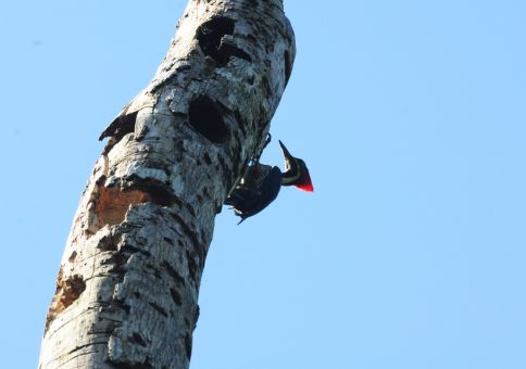 Articulated Woodpecker