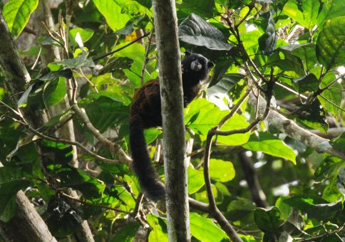 Saddleback Tamarin