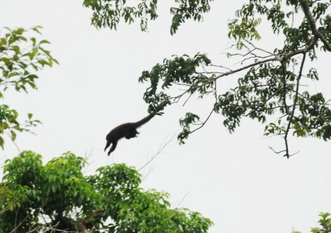 Red titi monkey jumping